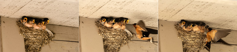 04 Jul 18   Thought I'd have a little fun with the 4th mailing and go with a set of four Barn Swallows - we'll call them the four sopranos, about to fledge on a July day, hence a 4th of July image.  They are in a nest just above and to the left of the entrance to our local P.O. I took several shots of them being fed by mom and then selected three of them and ordered them in time sequence. I spent the better part of a half hour just enjoying the show and got them in many different poses. My favorite of all the shots is one of the four of them lined up side-by-side with mouths tightly closed which makes them look like they are smiling. Not sharing that shot and instead the series shows them with mouths open begging mom to feed them, mom's approach, and finally with mom's head down the throat of the youngster furthest to the right. And while I've elected to say mom, it is more likely that both parents were sharing that duty.  I've cropped the images some to make for a tight presentation and then sequenced them to tell the story.  Nikon D500; 18 - 200; Aperture Priority;  ISO 200; 1/640 sec @ f / 9.
