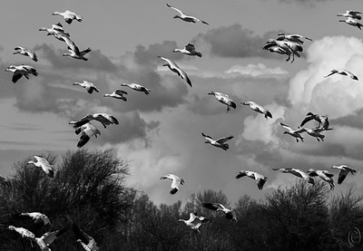 "27 Mar 18	Well, as the saying goes, what goes up must come down, so here we have a few members of the flock returning from their exercise called ""how to confuse the predators."" As unbelievable as it is to see them all launch and not collide, it is equally so to watch as they return never landing on an already ""parked"" fellow. Not sure how they do it but I have never seen one bump, let alone nudge, another on landing. These critters are simply amazing! Nothing more to add to what I've already said other than to encourage as many of you locals as possible to go see this show before they depart for their northern breeding grounds. Today we see them in B&W and as isolated individuals which is in stark contrast to yesterday's mass confusion of color.  I've removed a few individuals who were partially present at the edges, otherwise, this is what the camera recorded. Nikon D500; 18 - 200; Aperture Priority; ISO 200; 1/1600 sec @ f / 9."