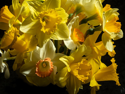 05 Apr 19	Keeping with the same theme (yellow) but switching venues some for Friday's macro / close-up. My bride, having brought me two large bouquets of daffodils this week plus pointing out that she has them blooming in the yard I got the message that I was to take some photos of them. So up into the studio did I go and shot about 150 frames but made her pick the one to send which is what I'm sharing. I have a large skylight over the area where I shoot so by waiting for ol' Sol I get to use sunlight albeit it filtered through the glass to illuminate my subjects and with a drape of black velvet to provide a decent backdrop I can get some nice still images with a controlled background. I can also add soft (blurred) color matched backgrounds whenever desired which also works well whenever needed. But today's submission is using just the black background and natural light.  I've cropped the original a small amount and painted out a few distractions at the bottom left, otherwise this is straight from the camera. A Bouquet of Daffodils  Nikon D500; 18 - 200; Aperture Priority;ISO 200; 1/125 sec @ f / 9.