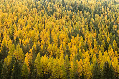 10 Apr 19	One last shot of the tamaracks turning a green hillside yellow. It's hard to convey the majesty of these hills when they are simply one ridgeline after another of yellows. Seeing it in the early morning as the fog enshrouding the forest lifts off is just an amazing sight and I wish all of you could someday have the experience. For those of you who can't I can always send you a few more.  This is straight from the camera. Hillside of Yellow  Nikon D500; 18 - 200; Aperture Priority; ISO 640; 1/250 sec @ f / 9.