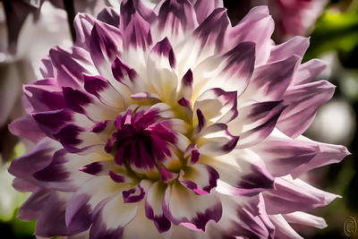 11 Jan 19	Been battling some bug all day so taking the lazy way out and sharing a flower from the dahlia series that was part of the Christmas shows. It happens to be one of the creative versions and in this case the attempt was to make it look like a watercolor painting.  Jan picked it out from a group of several dozen purely on color so now you know her favorite color. During the past several years I've been shooting primarily in two private gardens but this year I expanded to include a third private garden plus ours and a close relative's. Between the 5 gardens I've had lots of opportunity to capture these lovely flowers in many different weather conditions and now with Jan's garden becoming quite large and expanding, I can go out and shoot them whenever I want. Rather convenient and as they bloom for along time, several months, the opportunities abound. For those of you who like to grow flowers, if you haven't yet tried your hand with dahlias I highly recommend them to you, especially if you like to attract pollinators.  Other than the obvious manipulation, this was straight from the camera.  Using Watercolors  Nikon D500; 18 - 2--; Aperture Priority; ISO 320; 1/800 sec @ f /11.
