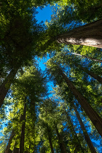 23 Jul 19	We spent our second night in Crescent City, CA and had as our plan to see the redwoods in that area before making our way south to Eureka. I asked the desk clerk for some ideas and he suggested we take the local route east out of town and visit the Jedediah Smith Stout Memorial Grove so off we went. My navigator was asleep on the job and we wound up many miles from where we should have been before turning around and back tracking to locate the grove. It was a pleasant place but the lighting was extremely harsh and I stupidly failed to carry the tripod leaving it in the Trooper so I had a bit of a challenge shooting in deep forest with penetrating bright sunlight poking its way down between the giants. We had a nice walk and wound up bumping into the same family several times while we followed the path through the forest. As we were leaving we got to talking and they mentioned they had their own business and were thinking about getting photos into commercial buildings. We chatted some about what I do and he took my card to look over my work with the possibility of getting it into many businesses. Since he didn't give me any of his personal info I just cast the discussion aside as friendly talk. Since I haven't heard a peep from him since I think I made the correct observation, but it was fun chatting none the less. While walking through the grove I attempted many different kinds of shots, but the only ones I like even slightly are those I made looking straight up, or close to it. One of them is what I'm sharing today. Every nature photographer worth their salt has made one of these types of images, so there is nothing special about this one save perhaps for the fact that I tried to emphasis one trunk without sacrificing the look although I didn't really succeed; but I came close. The trees are so wide at the bottom and narrow at the top that I found it very difficult to get the 360 degree canopy look that these kinds of shots are meant to portray.  This is straight from the camera. A Giant's View  Nikon D500; 18 - 200; Aperture Priority; ISO 640; 1/1250 sec @ f / 5.