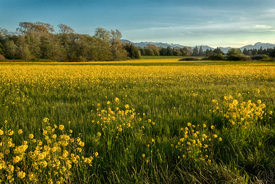 20 May 19	My departure day to go pooch sit was planned to leave in the late afternoon so as to maximize my chances of getting both the right light and the proper scene to shoot. Almost gave up on the idea but about a mile from my destination I came upon a field of what I'm calling mustard with the Olympic mountains in the distant background. I played with it for several minutes trying different approaches to the scene and with ever changing light. This is one of my favorites from the shoot. Of the 6 days I spent there in Sequim this was to be the best with another afternoon in mid-week offering some opportunity, one shot from which I'll share on Thursday. Most of the time it was just very windy and extremely cloudy. But this shot made it for me; perhaps you'll enjoy it as much as I do.  This is straight from the camera with the exception of a little contrast enhancement for the sky.  Fields of Gold  Nikon D500; 18 - 200; Aperture Priority; ISO 200; 1/125 sec @ f / 9.