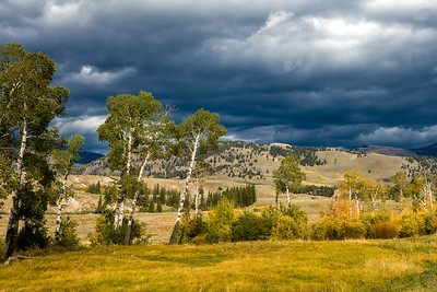 06 Nov 19	From the left coast fall yesterday to Rocky Mountains fall today. There is a section of the Grand Loop Road between Udine Falls and Phantom Lake at the top of the park where we always find the bison grazing among some truly delightful and colorful ponds and a set of aspen that I always shoot. This time around a few of the aspens were in full fall yellow under a seriously blue-gray thunder storm. It was one of those settings where you really had to have been there to believe. We got to enjoy the storm and its accompanying light for the better part of 200 minutes and I did my best to try and make the most of it. You'll be able to decide for yourselves if I did after you've seen a few of the shots, with this being the first of several. As you can see we were a good week or more too early for the best color but I took what was there and told myself to be happy enjoying all the park had to offer, even if it wasn't exactly what I had ordered. Some of you may recall a few of the other images I've shared of this particular stand of aspen.  This is straight from the camera. A Fair Warning  Nikon D500; 18 - 200; Aperture Priority;  ISO 200; 1/800 sec @ f / 9.