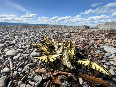 2020 05 27: Tiger Swallowtails (Papilio canadensis) bundle together on the beach of Skilak Lake, Alaska.