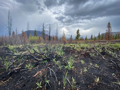2020 06 13: Regrowth along Swan Lake Fire scar. Resurrection south. Chugach National Forest, Alaska.