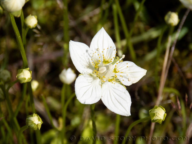 2020 07 16: Grass of Parnassus or Bog Star (Parnassia palustris). Cooper Landing, AK.