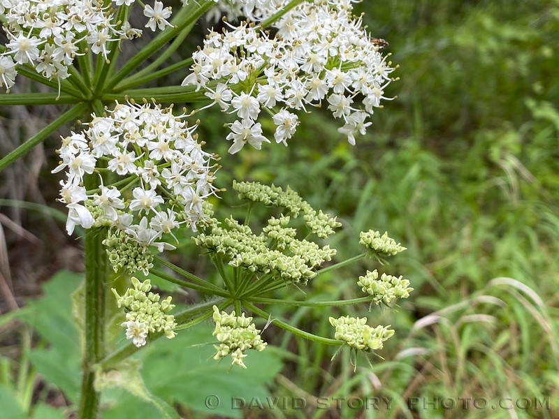 2020 07 09: Pushki, or cow parsnip, flowers belie its UV reactive furocoumarin compounds which poison insects and can leave human skin with blisters after exposure to sunlight. Kenai Peninsula, AK.