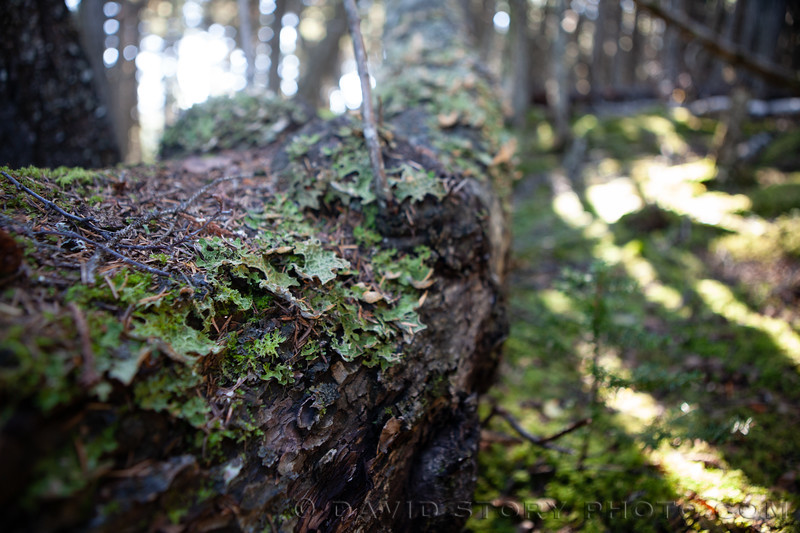 2020 08 21: Lungwort lines a leaning log. Kenai Peninsula, AK.