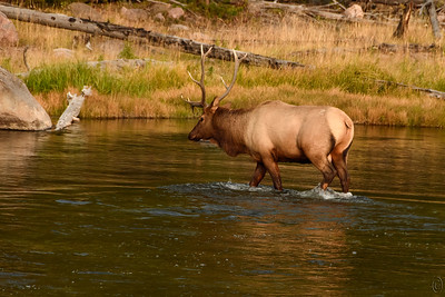 09 Nov 20We left off with the 5 point bull elk approaching the Madison for a drink and some dinner. Having finished dining, he strode into the river and started walking downstream for maybe a minute, then stopped and took a 90 degree turn and crossed over to the other side.  You can see how shallow the water was, perhaps a foot in depth, as he splashed his way across. Once on the other side, he stopped to graze for a couple of minutes, then sauntered off into the trees. Not quite certain of his destination but wherever it was I hope he had a clear view to the west as the sunset was a very nice one.  This is straight from the camera save for some cropping off of unnecessary material. Changing position from the first shot I shared I captured a little more of that golden light. Crossing Over  Nikon D500; 18 - 200; Aperture Priority;  ISO 800; 1/1250 sec @ f / 8.
