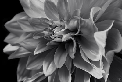 06 Nov 20For today's macro/close-up we are returning to a dahlia I shared prior as a creative subject. One member asked that I share with you the B & W version of it and so today that's what I'm doing. The earlier creative version was in red and I sent it back on the 2nd of Oct for any of you who might want to compare the two images.  If you don't keep them you can always find the older mailings on the blog. There is nothing special about this shot, it is just pure monochromatic image. But what might surprise you if you are one of those who like to read the technical stuff is how limited the depth of field in for something shot at f / 9. The reason for it is that it was shot at a 300mm equivalent focal length and I was at minimal focusing distance. For those of you who like to play with these images, add a little structure and see how you like the results.  This is straight from the camera but converted in Camera RAW to this monochrome look. In Mono  Nikon D500; 18 - 200; Aperture Priority;  ISO 320; 1/320 sec @ f / 9.