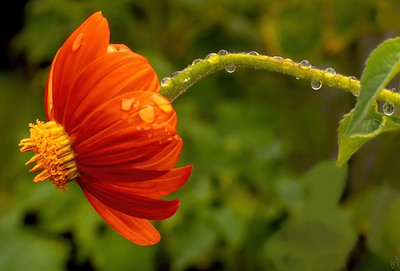 10 Sep 20This is the shot I had promised for Friday but changed my mind deciding to go with a twofer of water drops, the smaller amount today and a larger amount on Friday. Another of the Mexican Hat flower but this time the flower is serving the twofold purpose of hopefully keeping your eyes in the photo and weighting down the stalk in the shape of an arch to sustain the droplets of water. It is the drops of water that I want to showcase and in as much as it is Theatrical Thursday I've removed a lot of annoyances from the original to help in making that happen. Not a terribly difficult shot to take save for the plants being blown by the wind and the crowding of the plants such that there was no way to use a tripod and the busy environment making isolation at best a wish.  Other than a lot of cropping and the removal of many distractions this is straight from the camera. Droplets  Nikon D500; 105mm macro; ISO 640; 1/640 sec @ f /11.