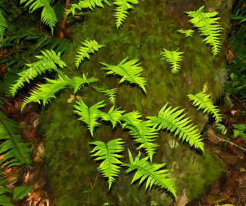 01 Oct 21For this Friday's macro / closeup we'll be taking a look at some licorice ferns. If you are not familiar with such they are a small fern that looks like a miniature sword fern that grows on the mossy bark of highly stressed hardwood trees, or so I've been led to believe. We have them growing on several of our alders that next year will be firewood. I'm sharing a creative version of the ferns as I think the creative version does a better job of highlighting them. All of you who grew up with the Scouting organizations in the 50s will be immediately able to identify in which direction I took the image because as you recall we were taught that the moss always grows on the north side of the tree. The photo was taken looking due west; perhaps that's why some of our friends didn't do so well with the map exercises. If you were to drive into our property you would drive right past this group of ferns and they will be at eye level but I'll wager you never see them until they are pointed out to you at which time they will be very obvious. The same is true for those higher up in the canopy; for some reason they just seem to blend in even though they are easily recognized.  Other than a wee bit of dodging and burning, and the obviously conversion tot e creative look using the Topaz plug-in Simplify 4, this is what the camera recorded. Painted  Nikon D500; 18 - 200; Aperture Priority; ISO 320; 1/60 sec @ f / 9 with fill flash.