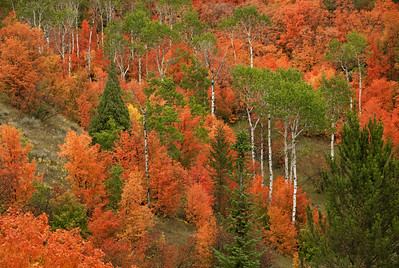 13 Oct 21Back to roughly where we were yesterday but today specifically in Swan Valley, ID. There is another Swan Valley in MT up near Glacier National Park but the one in ID is just a short drive easterly from Idaho Falls on Hwy-26. Our first visit there was an accident. We were parked in a parking area looking at some color similar to yesterday's image when another photographer struck up a conversation with me during which he asked me if I had come to photograph the Bear Tooth Maples in Swan Valley. I told him I knew of neither so he gave me a little info on them and how to get to Swan Valley. Based on his description of what awaited us we changed our route and made our way to Swan Valley. We saw some nice stuff on the drive although what we saw is only an inkling of what there is to see. We stopped at the base of the local dam and got an inkling of what laid ahead before going on. Almost without warning we turned a bend and found ourselves driving with the most spectacular display of color on our left. On our right the road hugged a rather steep drop off so there wasn't a lot of large foliage there. But on the left, covering the hillside, was a blaze of red unlike anything I've ever seen. We were told the trees are called Bear Tooth Maple, but I can't find any such tree listed. Instead, I've found Bigtooth Maple, Western Sugar Maple, Canyon Maple, and Rocky Mountain Sugar Maple all of which supposedly refer to the same tree and the photos of which look like what I'm sharing today. Your first reaction to the shot is likely gonna be something along the lines of this is fake, but I assure you it is not! This is exactly what they look like. Look at the color of the Aspen trunks which are naturally white and you'll see they are. That's your clue that the colors are accurate. This is one of those places that isn't highly advertised and I've never seen it on the visitation location for any photo safari but it should. IF you ever have a change to visit Swan Valley in mid