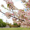 Law Building with Cherry Tree
