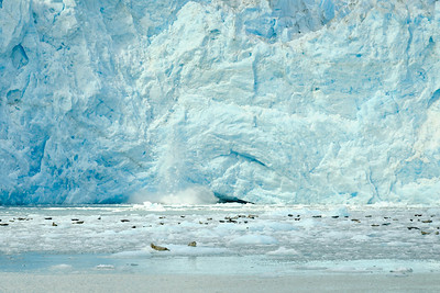 Ice falling from Aialik Glacier as harbor seals float on small chunks of ice at the foot of the glacier.