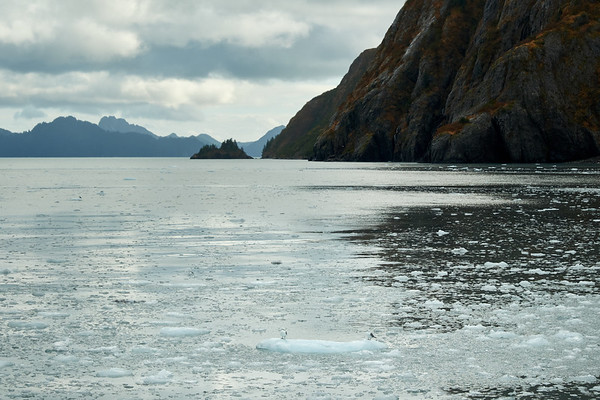 A gull floats on a small piece of ice near Holgate Glacier, Kenai Fjords National Park.
