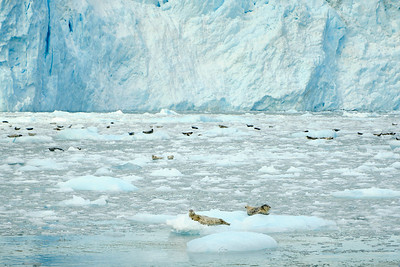 Harbor seals floating on the ice at the foot of Aialik Glacier, Kenai Fjords National Park.