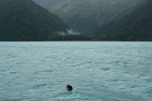 A sea otter floating in Resurrection Bay, near Seward, Alaska.