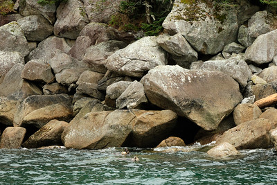 Four sea otters playing near the rocks of Cheval Island, a small island near Aialik Cape teeming with wildlife.
