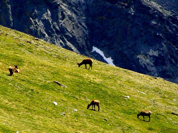 Elk at 12000 feet