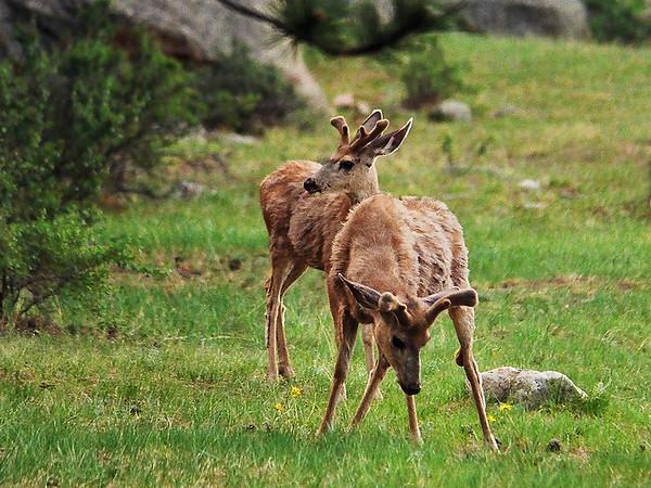 Rockie Mule Deer<br /> <br /> June 2002<br /> Nikon N-65 35mm Film