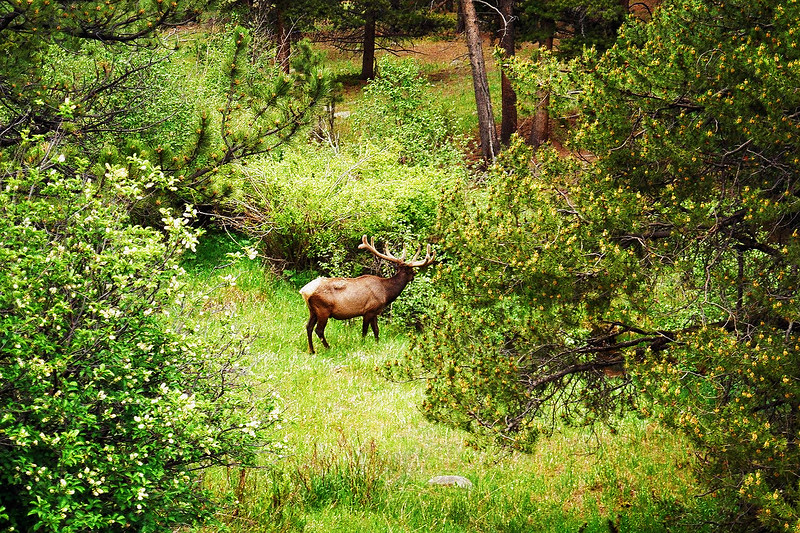Grazin' in the Glade<br /> Big ol' Bull Elk