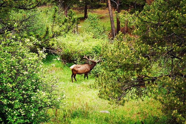 Grazin' in the Glade<br /> Big ol' Bull Elk