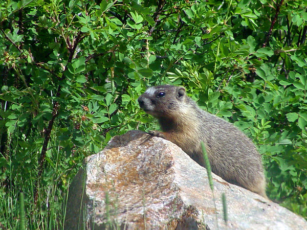 Yellow Bellied Marmot - Rocky Mountain National Park...<br /> <br /> Shot with Polarizer through car windshield. Little bugger just wouldn't come out unless I hid in the car...