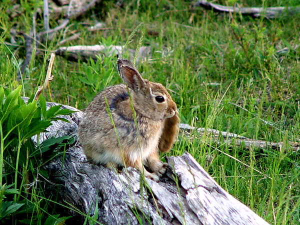 """Pardon me while I scratch this itch...."" Thump Thump...<br /> Rocky Mountain National Park<br /> Rabbit, Hare, whatever..."