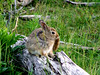 """""""Pardon me while I scratch this itch...."""" Thump Thump...<br /> Rocky Mountain National Park<br /> Rabbit, Hare, whatever..."""
