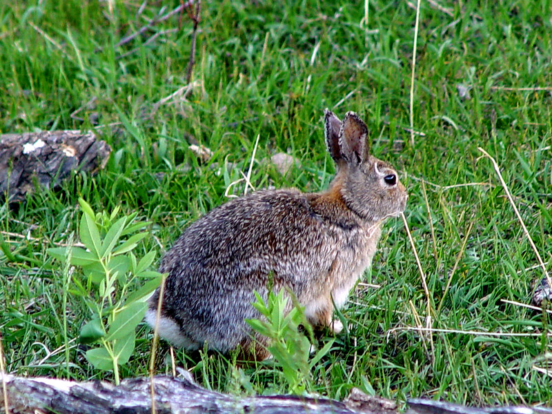 Rocky Mountain National Park<br /> Rabbit, Hare, whatever...