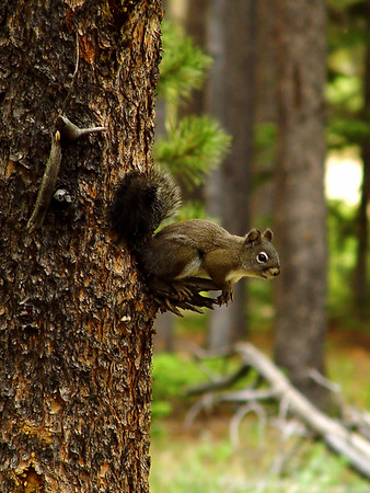 Pine Cone Sentry Squirrel<br /> Rocky Mountains Colorado, Wild Basin, Near Copeland Falls