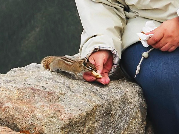 Peanut Poppin' at about 10,800 feet altitude.<br /> (Rocky Mountain National Park - Rainbow Curve) Chipmunk? Ground Squirrel?