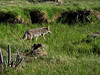 Rocky Mountain National Park<br /> Coyote