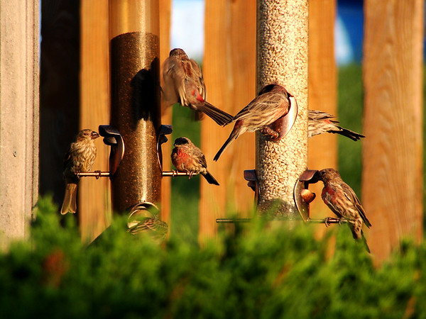 """They can empty both safflower feeders in 3 hours. Then it's thistle time. """"House Finch"""" """"Purple Finch"""""""