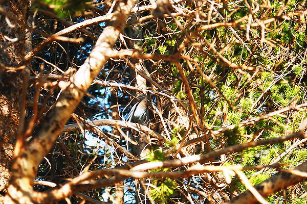 Steller's Jay (look closely...)