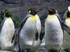 king penguin_DSC00998