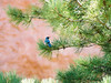 Western Scrub Jay in the Garden of the Gods, Colorado Springs, CO.<br /> 4285520-R1-007-2 from Nikon 65 35mm film