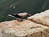 Clark's Nutcracker... Rainbow Curve Rocky Mountain National Park.<br /> Approximately 10,832 feet.