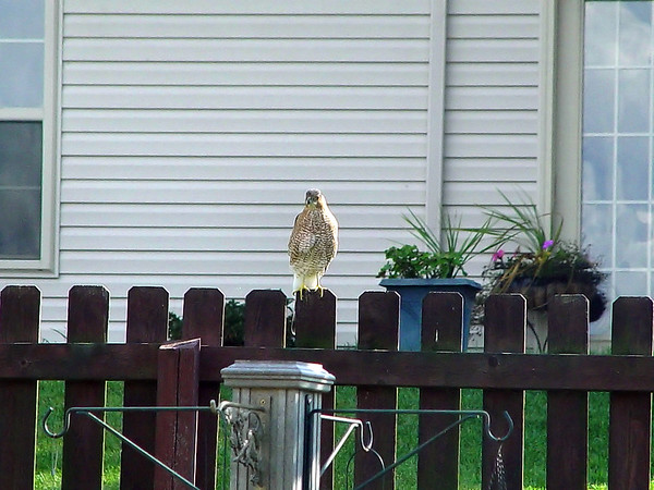 My first snap of this raptor about 60 feet away, no telephoto, through the back door glass, the storm door glass into diffused sunlight..., full digital zoom (just in case it wasn't noisy enough)...ugly, but got 'im.<br /> (Sampled up, full frame.)