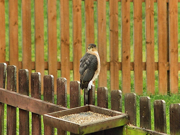 This visitor appears frequently, only way I've been able to get a pic is THROUGH the back door window (double glass) THROUGH the storm door glass WITH the F-717 in full digital zoom...never get a chance to install the x1.7 lens... this raptor bolts with the slightest movement from a human...any pic quality is pure luck, with a lot of help from PaintShop Pro :-)
