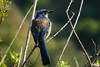 Island Scrub Jay (<i>Aphelocoma insularis</i>), Santa Cruz Is., Channel Islands NP, CA