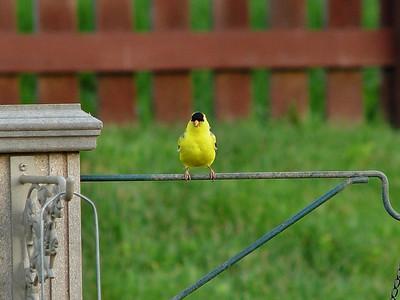 Yellow Bird....but no got banana tree...