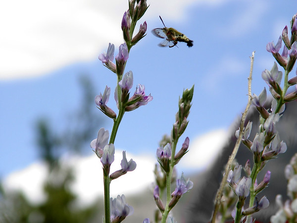 Snowberry Clearwing or Bumblebee Moth...Hemaris diffinis<br /> Silvery Lupine (Lupinus argenteus) - light blue, tall stem.<br /> Rocky Mountains foothills to subalpine. Meadows, fields.