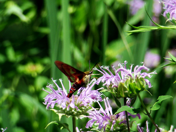 Hummingbird Clearwing Moth (Hemaris thysbe) feeding on Wild Bergamot (Monarda fistulosa)