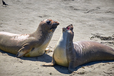 Elephant seals socializing - and molting - on the beach near San Simeon