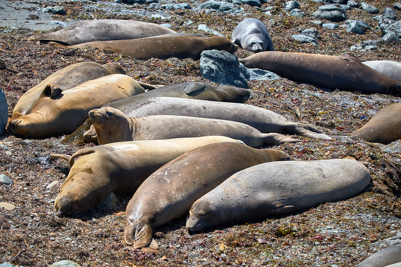 Elephant seals resting on the beach near San Simeon