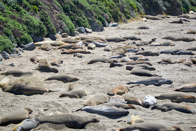 Elephant seals resting on the beach near San Simeon.  If you look closely you can see the seals throwing sand over themselves to cool them off