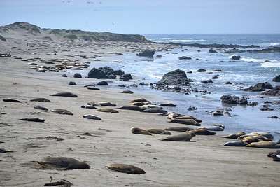 Elephant seals resting on the beach near San Simeon